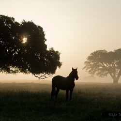 Lusitano stallion standing in spring in Portugal in a field at sunrise in a misty morning