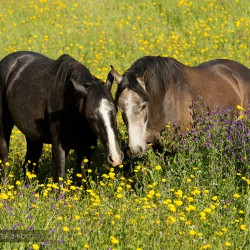 Grey Lusitano stallions grazing in a field with yellow violet flowers in spring in Portugal