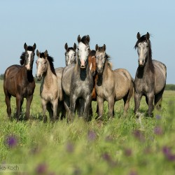 Lusitano stallions standing in a field with flowers in spring in Portugal
