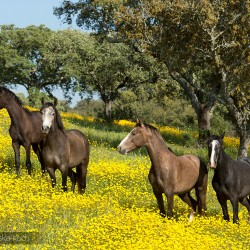 Lusitano stallions standing in a field with yellow flowers in spring in Portugal