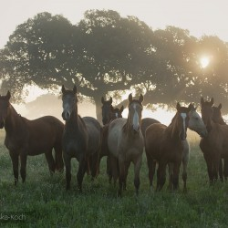 Herd of Lusitano stallions standing in spring in Portugal in a field at sunrise in a misty morning
