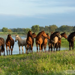 Herd of Lusitano stallions standing in spring in Portugal in a field with flowers next to a pond