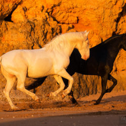 Lusitanos galloping on the beach against the cliffs