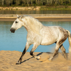 Grey Lusitano trotting on the beach besides river