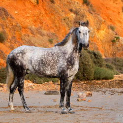 Grey Lusitano standing against the cliffs at sunset