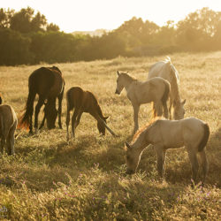 Herd of Lusitano horses in the field