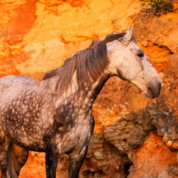 Grey Lusitano portrait against the cliffs at sunset