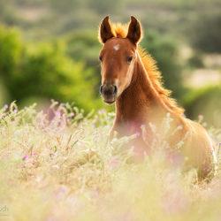 Lusitano foal lying in the field among flowers