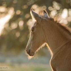 Portrait of Lusitano foal in spring in Portugal at sunset