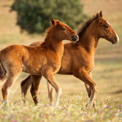Lusitano foals playing in spring