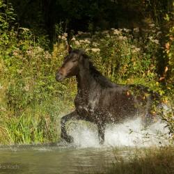 Kara klacz małopolska kłusująca jesienią w strumieniu