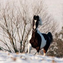 Srokata klacz małopolska kłusująca zimą w śniegu