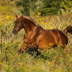 Koń małopolski galopujący po jesiennej łące