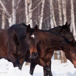 Portret koni małopolskich zimą na tle brzóz