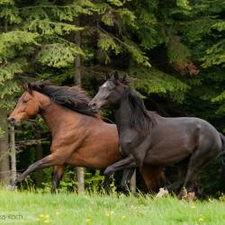 Konie małopolskie galopujące wiosną na tle lasu