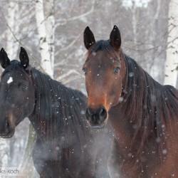 Portret koni małopolskich zimą w padającym śniegu na tle brzóz