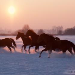 Stado klaczy małopolskich galopujące zimą w śniegu o zachodzie słońca