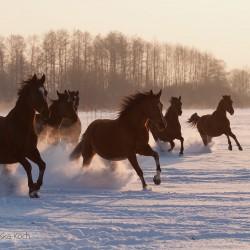 Stado klaczy małopolskich galopujące zimą po śniegu o zachodzie słońca