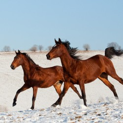 Wałachy małopolskie galopujące zimą po śniegu w górach
