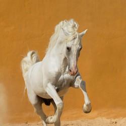 Siwy andaluz galopujący po pisaku na tle żółtej ściany zdjęcia koni