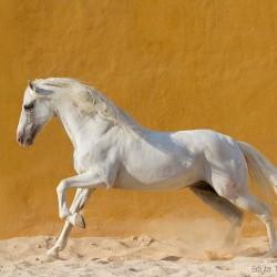 Siwy ogier andaluzyjski galopujący po piasku na tle żółtej ściany zdjęcia koni