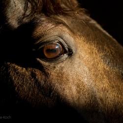 Oko ogiera AQH zdjęcia koni