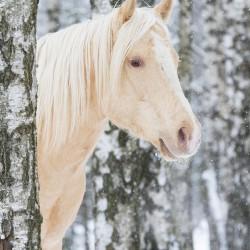 Zimowy portret szampańskiego ogiera AQH między brzozami w sypiącym śniegu zdjęcia koni