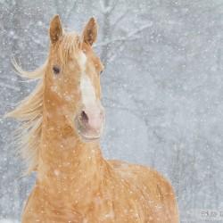 Portret szampańskiego ogiera AQH zimą w śnieżycy zdjęcia koni
