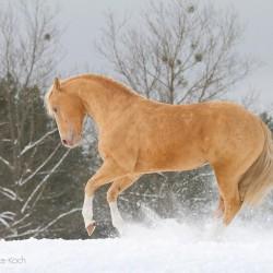Szampański ogier AQH brykający zimą na śniegu zdjęcia koni