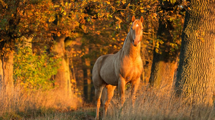 AQH champagne stallion standing in a oak alley at sunrise in autumn