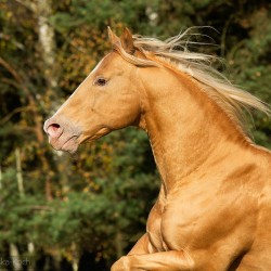 Portret ogiera AQH na tle drzew jesienią zdjęcia koni