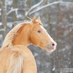 Zimowy portret ogiera AQH na tle drzew zdjęcia koni