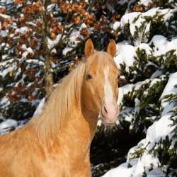 Zimowy portret ogiera AQH na tle ośnieżonych świerków zdjęcia koni
