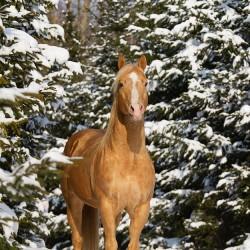 Szampański ogier AQH stojący zimą na tle ośnieżonych drzew zdjęcia koni