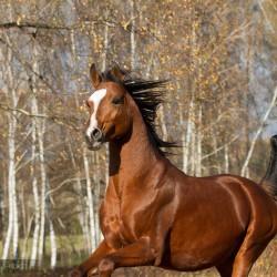 Portret gniadego ogiera arabskiego na tle jesiennych drzew zdjęcia koni