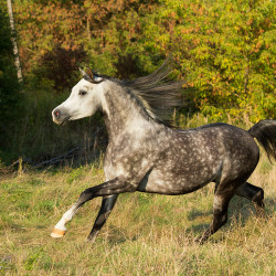 Grey Arabian stallion galloping in autumn scenery