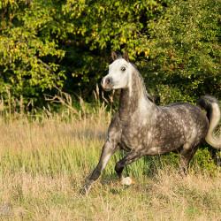 Grey Arabian stallion trotting in autumn scenery