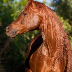 Portrait of Arabian stallion in spring
