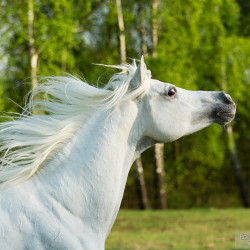 Portrait of Arabian grey stallion in spring