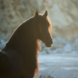 Portrait of black Friesian stallion at sunset