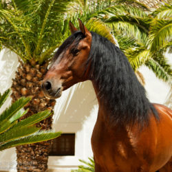 Portret gniadego ogiera w patio na tle palm