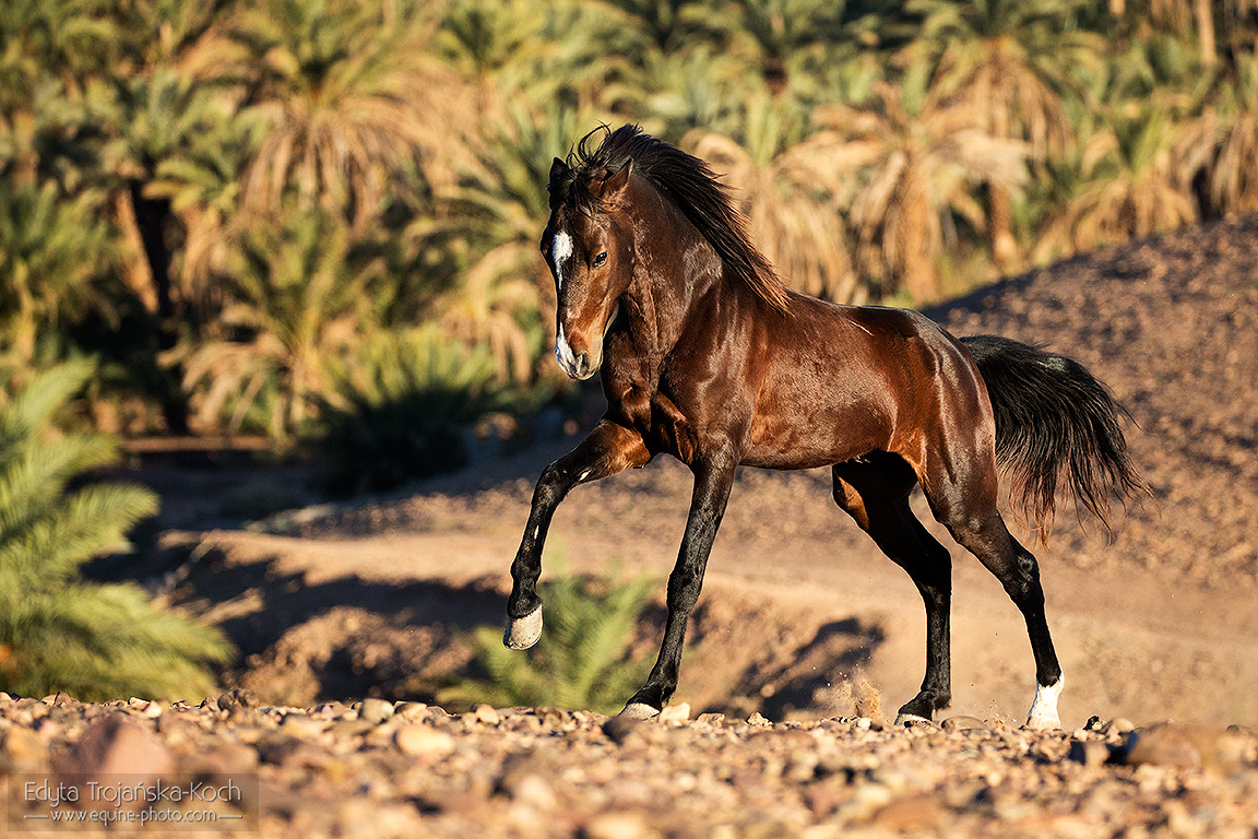 Arabian-berber stallion galloping against palms
