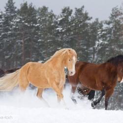 Aqh galopujące zimą po śniegu zdjęcia koni
