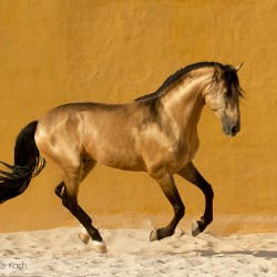 Lusitano stallion galloping in spring in Spain on the sand against yellow wall