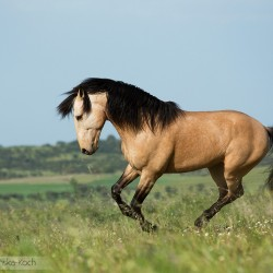 Lusitano stallion galloping in spring in Portugal in a field with flowers against the sky