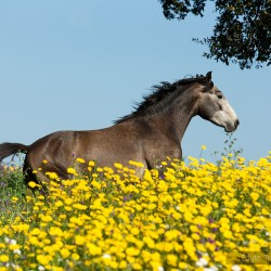 Grey Lusitano stallion galloping in spring in Portugal in a field with yellow flowers against the sky