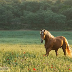 Palomino Lusitano stallion trotting in spring in Spain in a field with poppies at sunset