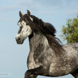 Portrait of grey Lusitano stallion galloping in spring in Portugal against the sky