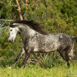 Grey Lusitano stallion galloping in Portugal against pine trees