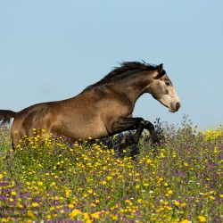 Grey Lusitano stallion galloping in spring in Portugal in a field with yellow and violet flowers against the sky